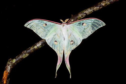 istock The Indian Moon Moth moth 498403989