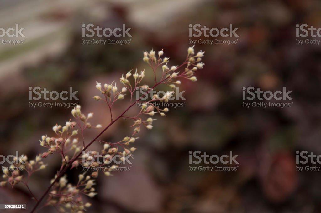 The inflorescence of heuchera in the autumn park royalty-free stock photo