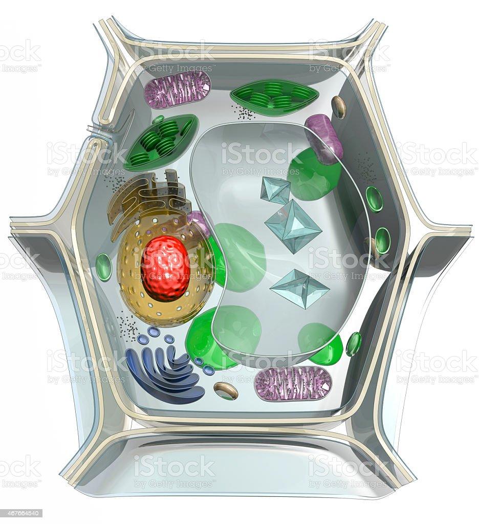 La estructura interna de la célula de planta - foto de stock