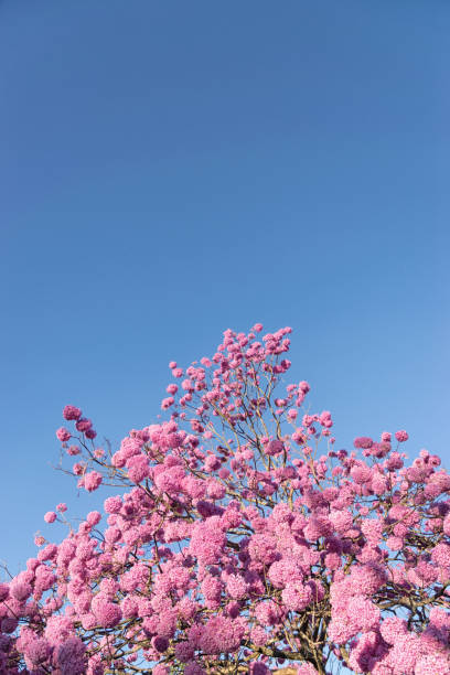 O Ipê-rosa (Handroanthus impetiginosus) - foto de acervo