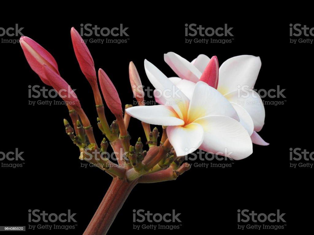 The isolated Plumeria flower in black background - Royalty-free Frangipani Stock Photo