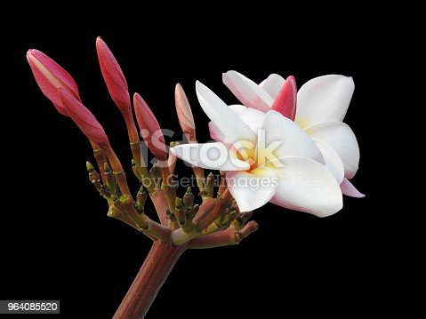 The isolated Plumeria flower ,white and yellow in the middle ,some is blooming in black background with clipping path