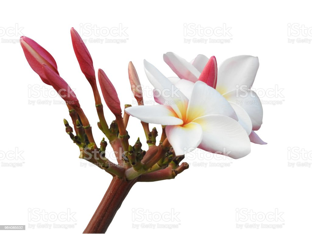 The isolated Plumeria flower in white background - Royalty-free Bali Stock Photo