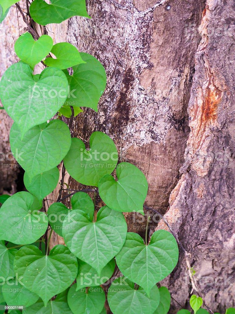 The Ivy. royaltyfri bildbanksbilder