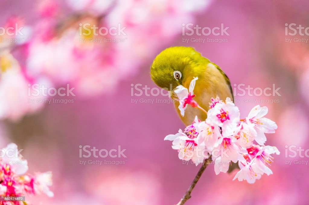 The Japanese White-eye stock photo