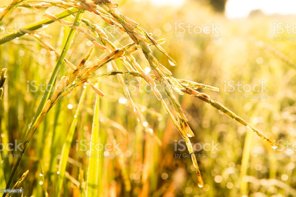 The jasmine rice in farm is ready to havest stock photo