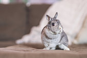 An adorable baby bunny perches on the living room sofa and looks around contemplatively.