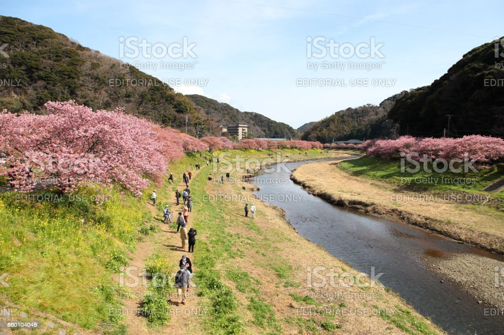 The Kawazu Cherry Blossom Festival which is the popular event celebrates the flowering of the Kawazu Cherry Trees. stock photo