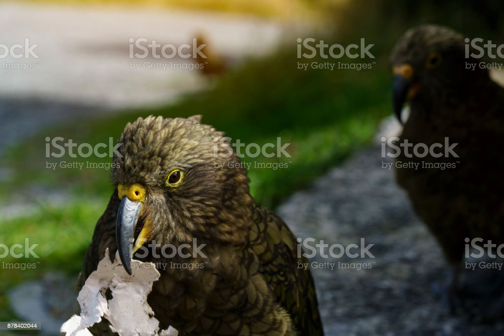 The kea , so called 'The clown of the mountains' ,  is a large parrot found in forested and alpine regions of the South Island of New Zealand stock photo