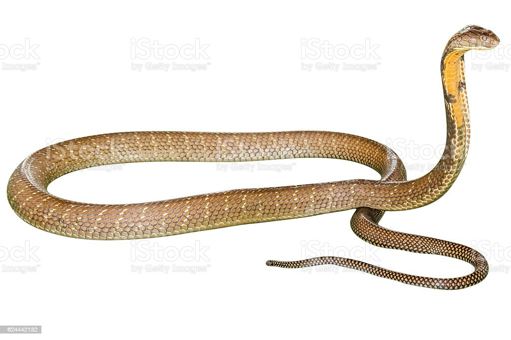 The King Cobra stock photo