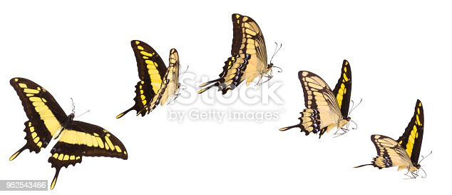 The King of Swallowtail butterflies in various flying positions isolated on white