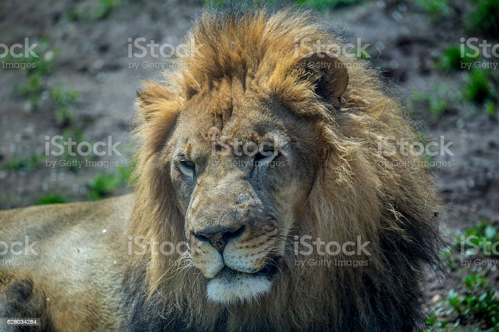 The king of the jungle Lion stock photo