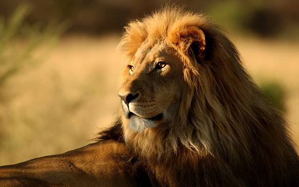 the king of the jungle - lion stock photos and pictures