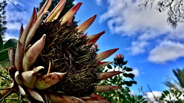 the king protea / protea cynaroides Nature samuel howell stock pictures, royalty-free photos & images
