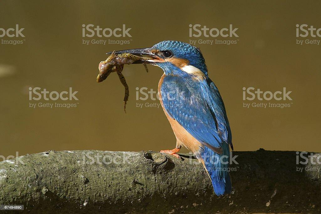 The kingfisher royalty-free stock photo