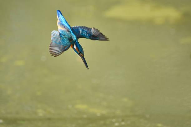 le martin-pêcheur qui tombe raide - martin pêcheur photos et images de collection