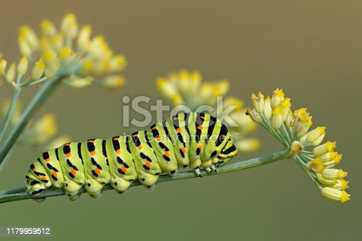 Swallowtail caterpillar over fennel food plant