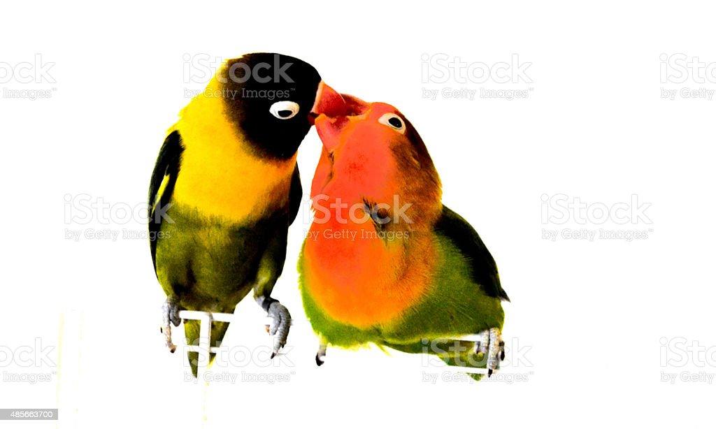 The kiss Lovely lovebirds 2015 Stock Photo