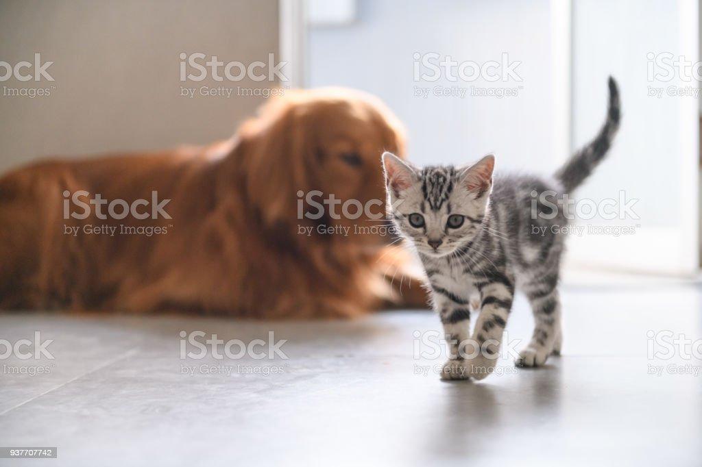 The kitten and the Golden retriever stock photo