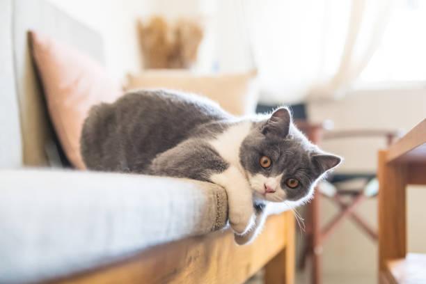 O gatinho está deitado no sofá. - foto de acervo
