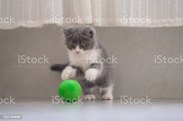 The kitten is playing with a ball picture id1022164092?b=1&k=6&m=1022164092&s=612x612&h=ary5xd70izb96ynisiux0 berirxwwt9icetl6x6qcs=