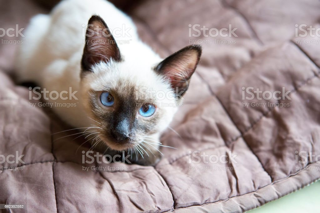 the kitten(Siamese type ,Mekong bobtail)  lies on a cover and looks in a lens photo libre de droits