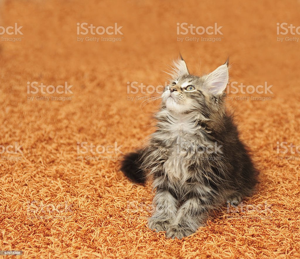 The kitten sits on a carpet royalty-free stock photo