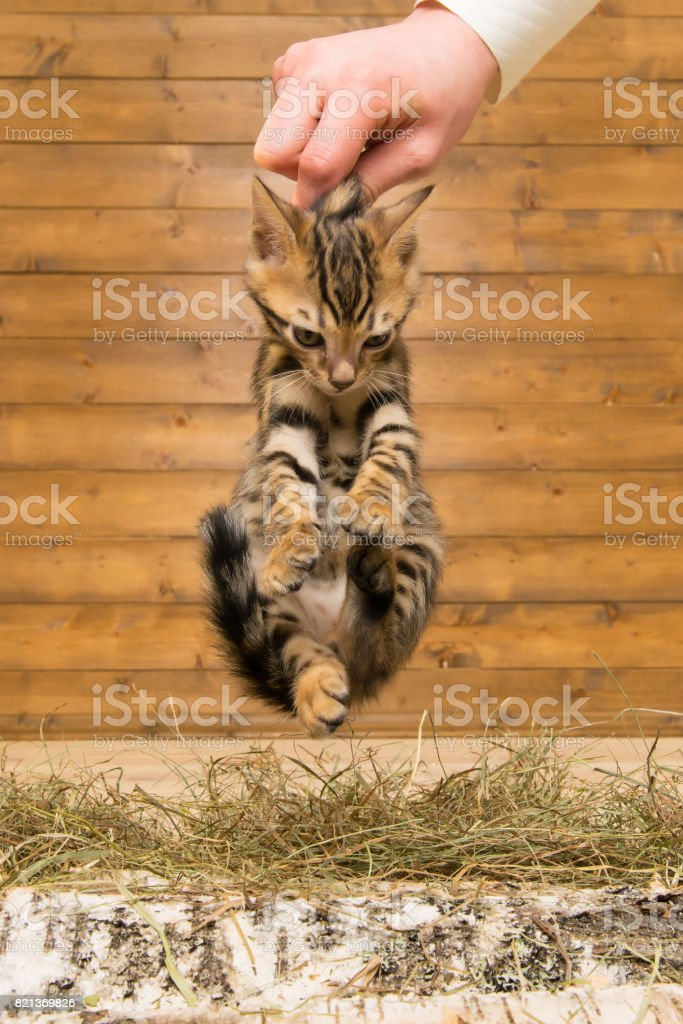 The kitten was taken by the scruff on the background of a wooden wall stock photo