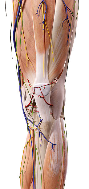 Royalty Free Knee Anatomy Pictures Images And Stock Photos Istock