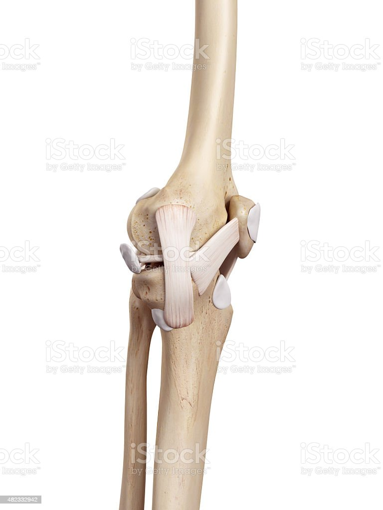 The knee ligament stock photo