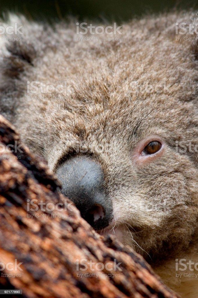 The Koala Bear 2 royalty-free stock photo