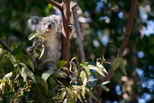 the koala is eating leaves the joey koala is in a tree looking for leaves koala stock pictures, royalty-free photos & images