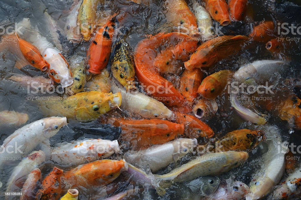 The Koi Fish stock photo