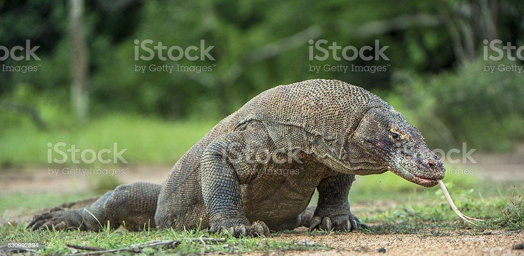 The Komodo dragon stock photo