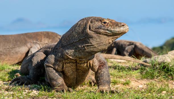 The Komodo dragon raised the head with open mouth. Scenic view onb the background,  Scientific name: Varanus Komodoensis. Natural habitat. Indonesia. Rinca Island. stock photo