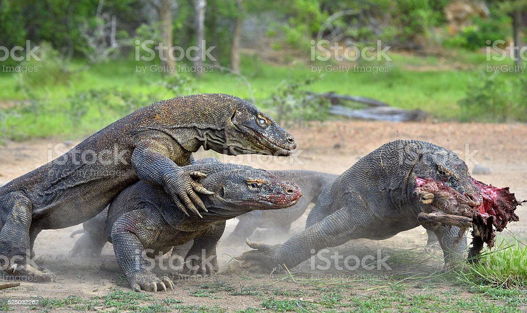 The Komodo dragons fight for prey. stock photo