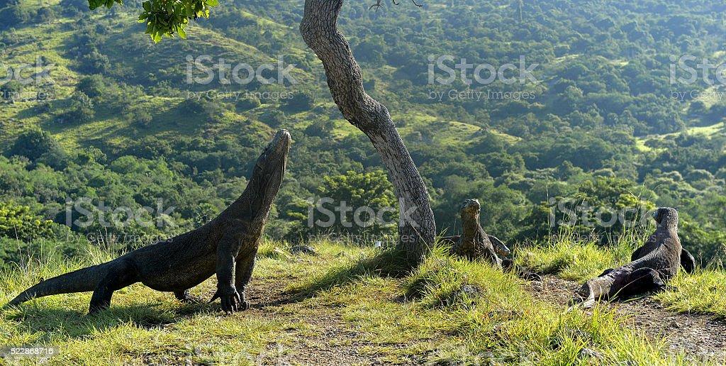 The Komodo dragons stock photo