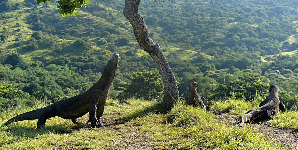 The Komodo dragons stock photo