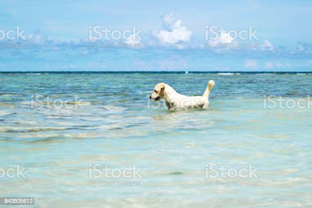 The labrador retriever dog in blue sea with clear blue sky at koh picture id843505612?b=1&k=6&m=843505612&s=612x612&h= 7yddrstpbgvgoixrycwznacdrp3ykalyn00mxxehm0=