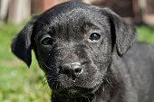 The Labrador Retriever (simply Labrador, or Lab for short)