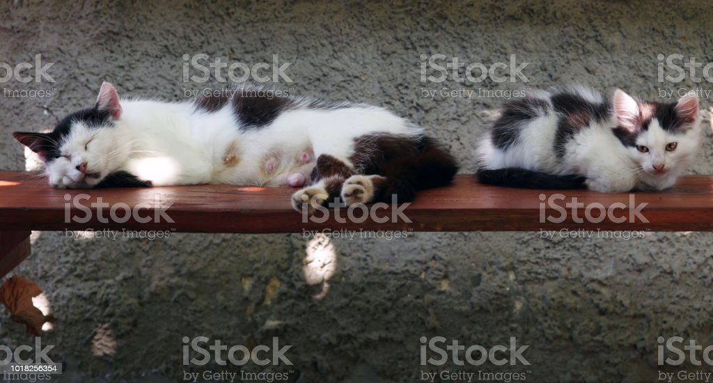The lactating cat sleeps on the bench next to the kitten stock photo