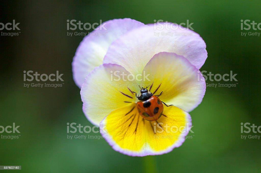Die Marienkäfer Sitzt Auf Einer Blume Stockfoto Und Mehr Bilder Von