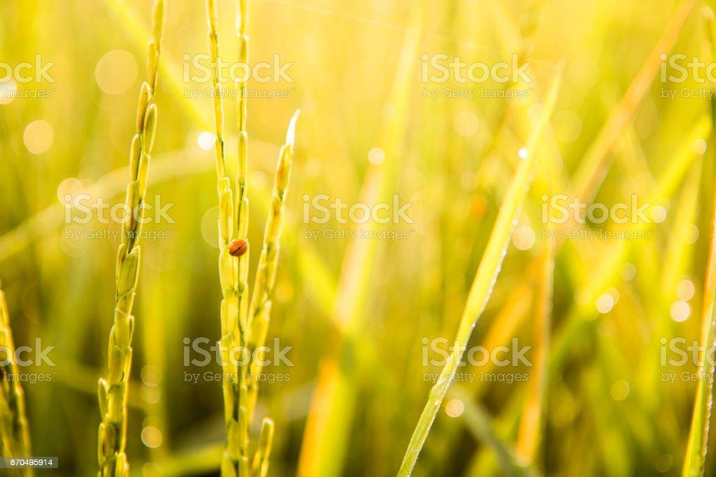 The ladybugs are destroying jasmine rice farm stock photo