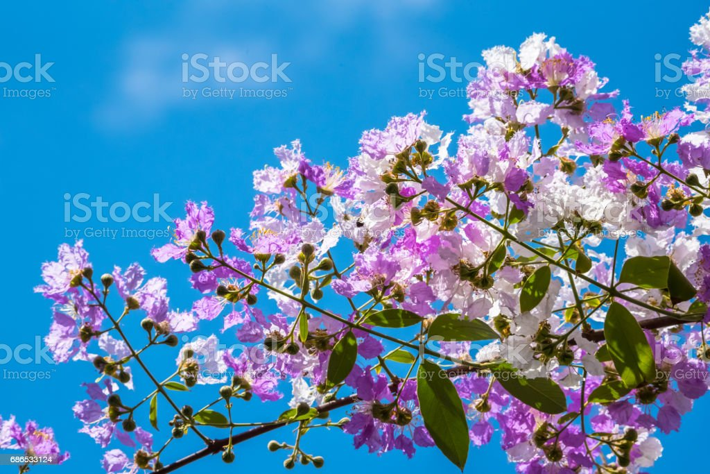 The Lagerstroemia are Beautiful pink flowers blooming in nature foto de stock libre de derechos