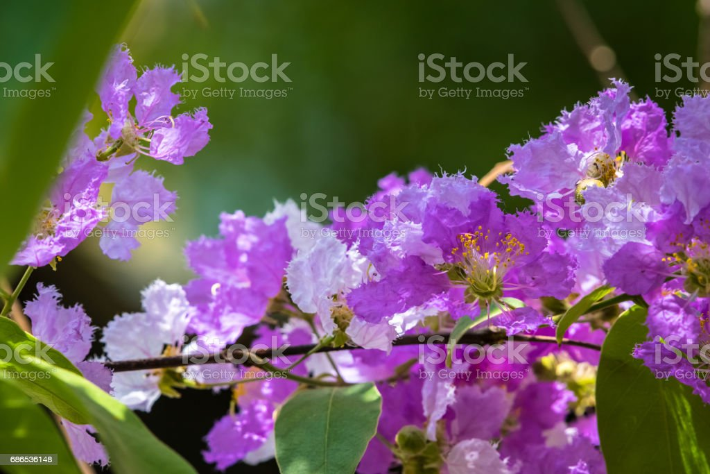 The Lagerstroemia are Beautiful pink flowers blooming in nature foto stock royalty-free