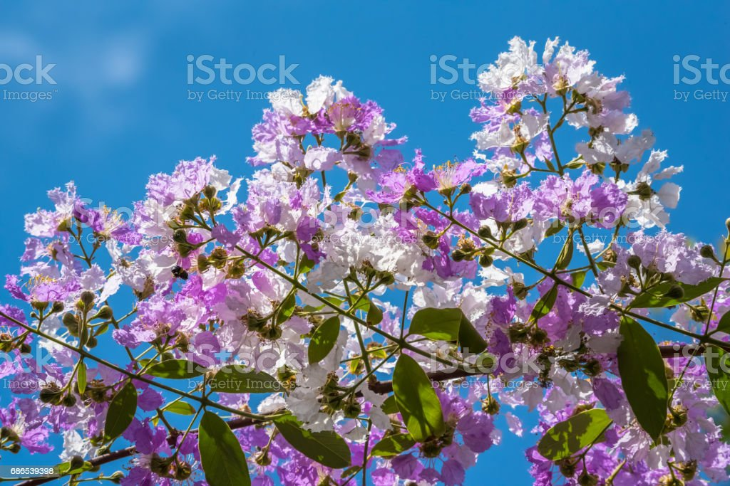 The Lagerstroemia are Beautiful pink flowers blooming in nature royalty free stockfoto