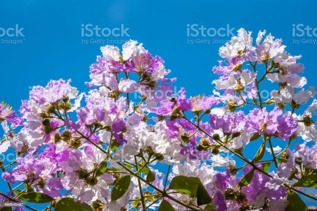 The Lagerstroemia are Beautiful pink flowers blooming in nature royaltyfri bildbanksbilder