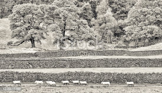 Agricultural landscape with grazing sheep in the Lake District in the United Kingdom