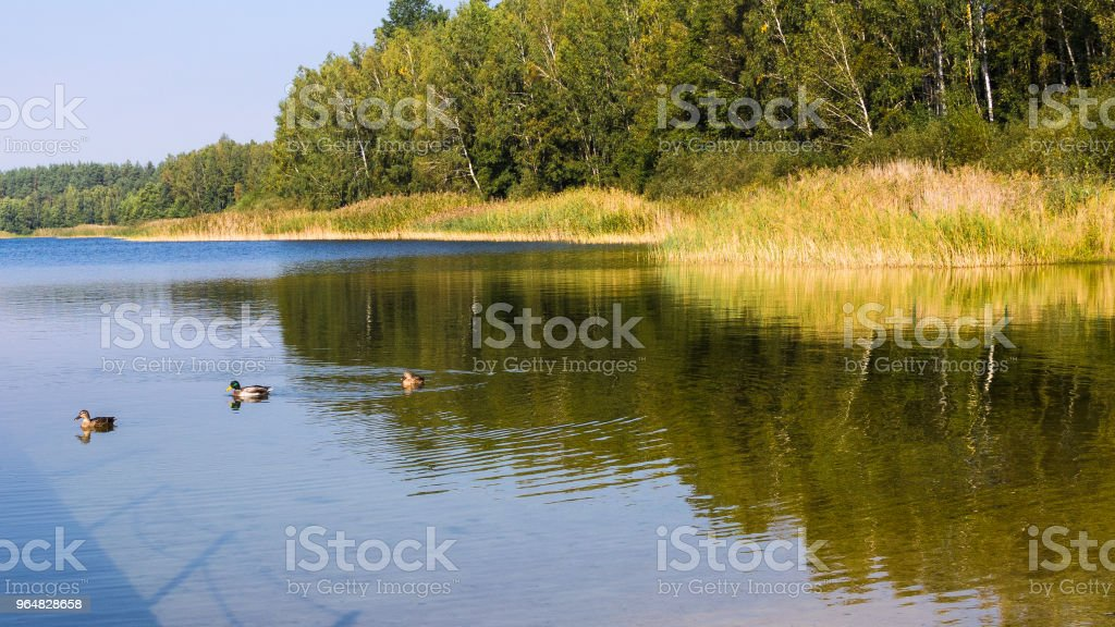 The lake, ducks and trees in the forest on the shore. royalty-free stock photo