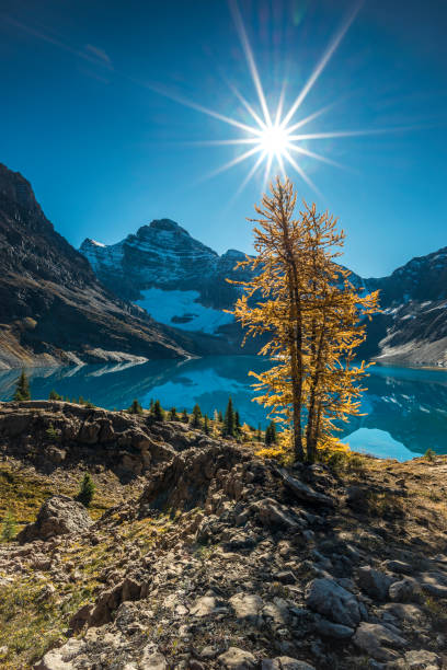 The Larch Noon sun adorning one of the Larch trees around Lake McArthur located at the Lake O'hara region, Yoho National park, BC, Canada vancouver island stock pictures, royalty-free photos & images